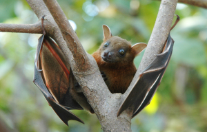 You won't see one of these Fruit Bats in Train Wood, but you will hear about the local bats!